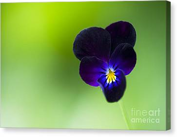 Viola Cornuta 'bowles Black' Canvas Print by Tim Gainey