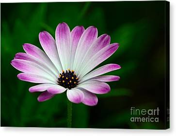 Violet And White Flower Petals With Yellow Stamens Blossoms  Canvas Print