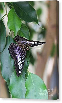 Violet Clipper Butterfly Canvas Print