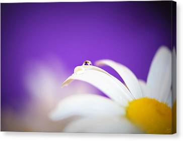 Violet Daisy Dreams Canvas Print