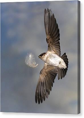 Violet Green Swallow Canvas Print