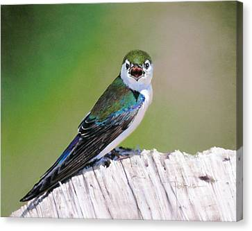 Canvas Print - Violet Green Swallow by Dianna Ponting
