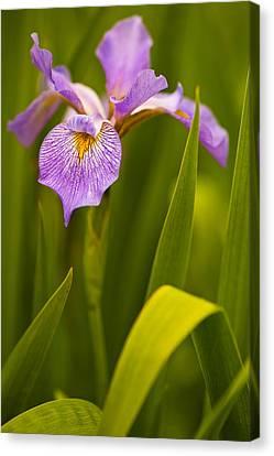 Violet Iris Canvas Print