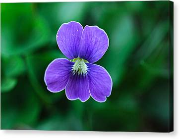 Violet Splendor Canvas Print by Julie Andel