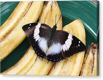 Violet-spotted Charaxes Butterfly Canvas Print