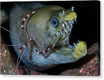 Thriller Canvas Print - Viper Moray And Boxer Shrimp by C?dric P?neau