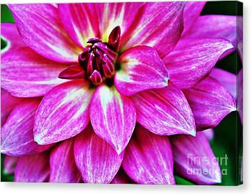 Virbrant Pink Dahlia Canvas Print by Judy Palkimas