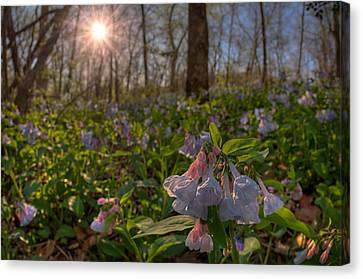 Virgina Bluebells Canvas Print