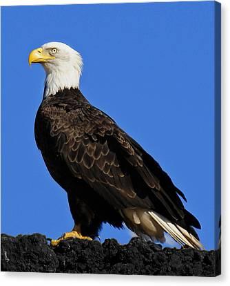 Virginia Bald Eagle Canvas Print by Lara Ellis
