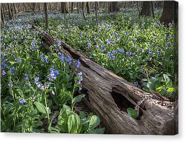 Virginia Bluebells Canvas Print by Michael Donahue
