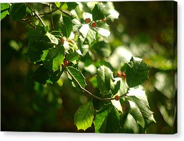 Canvas Print featuring the photograph Virginia Holly Tree And Berries by Suzanne Powers