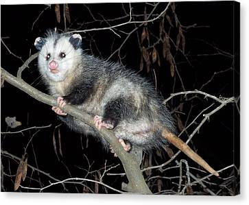 Virginia Opossum Canvas Print by William Tanneberger