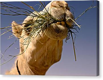 Camel Canvas Print - Vitamins And Minerals by Thorne Owenly