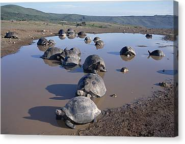 Volcan Alcedo Giant Tortoise Wallowing Canvas Print by Tui De Roy