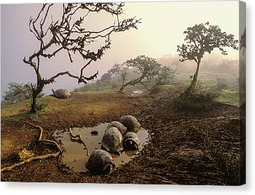 Volcan Alcedo Giant Tortoises Wallowing Canvas Print by D. Parer & E. Parer-Cook