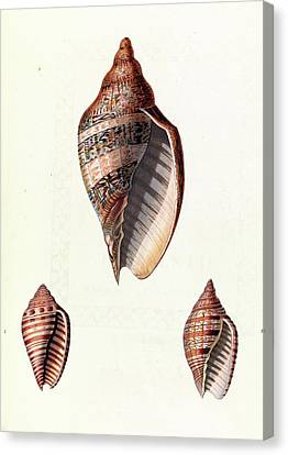 Voluta Seashells Canvas Print