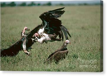 Vulture Fight Canvas Print by Gregory G. Dimijian, M.D.