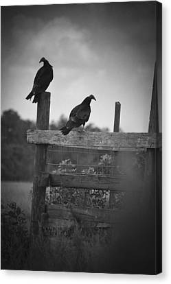 Canvas Print featuring the photograph Vultures On Fence by Bradley R Youngberg