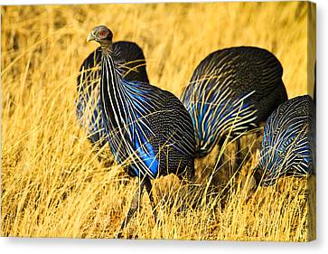 Vulturin Guineafowl Canvas Print by Kongsak Sumano