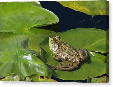 Wa, Juanita Bay Wetland, Bullfrog, Male Canvas Print