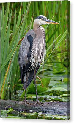 Wa, Juanita Bay Wetland, Great Blue Canvas Print