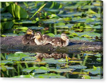 Ducklings Canvas Print - Wa, Juanita Bay Wetland, Mallard Ducks by Jamie and Judy Wild