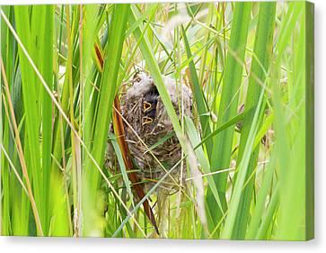 Wa, Juanita Bay Wetland, Marsh Wren Canvas Print by Jamie and Judy Wild
