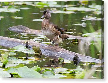 Ducklings Canvas Print - Wa, Juanita Bay Wetland, Wood Ducks by Jamie and Judy Wild