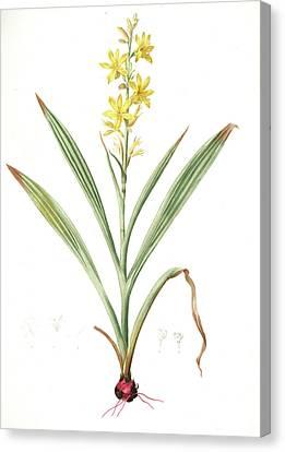 Wachendorfia Thyrsiflora, Wachendorfe En Thyrse, Bloodroot Canvas Print by Artokoloro