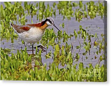 Wading Beauty Canvas Print