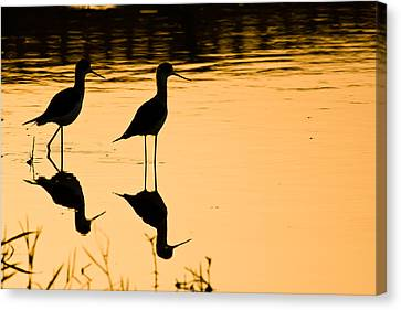 Wading Birds Canvas Print