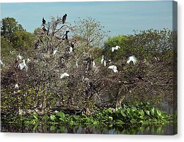 Wading Birds Roosting In A Tree Canvas Print by Bob Gibbons