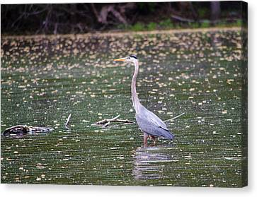 Canvas Print featuring the photograph Wading Crane by Susan  McMenamin