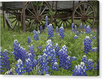 Wagon With Bluebonnets Canvas Print