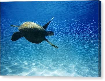 Waimea Turtle Canvas Print by Sean Davey