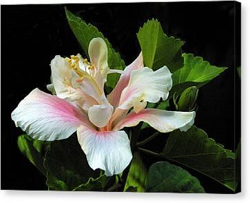 Waitangi White Hibiscus Canvas Print by Linda Phelps