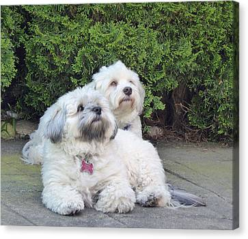 Canvas Print featuring the photograph Havanese Dog Sisters by Laurie Tsemak