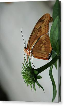 Butterfly Waiting On The Wind  Canvas Print by Cathy Harper