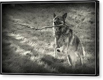 Walk Softly But Carry A Big Stick Canvas Print by Sue Long