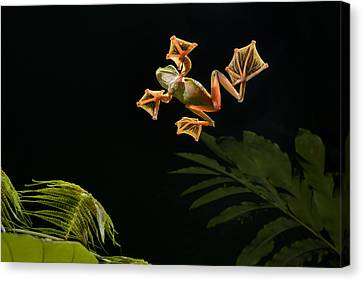 Wallaces Flying Frog Danum Valley Sabah Canvas Print by Ch'ien Lee