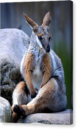 Canvas Print featuring the painting Wallaroo 1 by Amanda Vouglas
