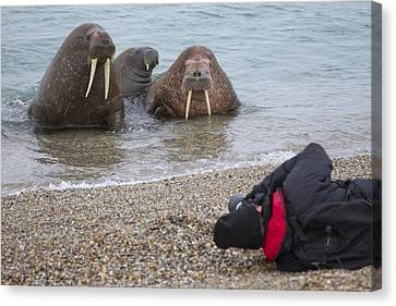 Eco-tourism Canvas Print - Walruses Photographed By Tourists by Peter Cairns