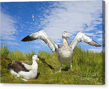 Wandering Albatross Courting  Canvas Print
