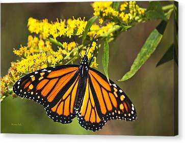 Wandering Migrant Butterfly Canvas Print by Christina Rollo