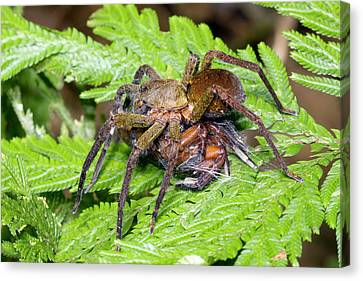 Wandering Canvas Print - Wandering Spider Eating Another Spider by Dr Morley Read