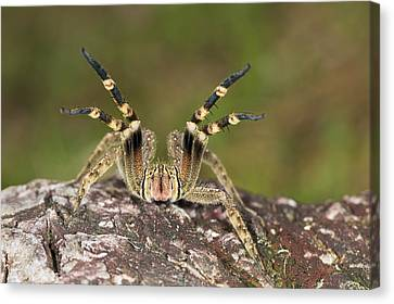 Wandering Canvas Print - Wandering Spider In Defensive Posture by Konrad Wothe