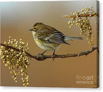 Warbler Canvas Print - Yellow Rumped Warbler by Robert Frederick