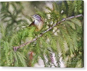 Warbler In The Cypress Canvas Print by Deborah Benoit