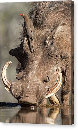 Warthog With Ox-pecker At A Watering Hole Canvas Print by Tony Camacho