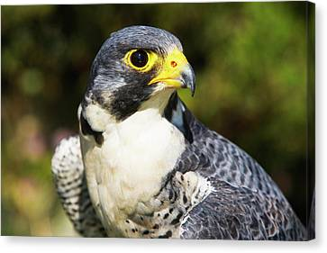 Wary Eye Of Peregrine Falcon Canvas Print
